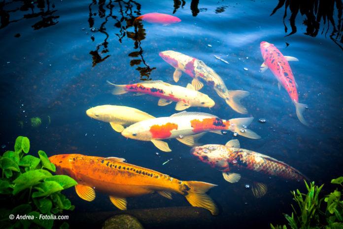 Ratgeber das richtige fischfutter und seine kriterien for Koi und goldfische in einem teich