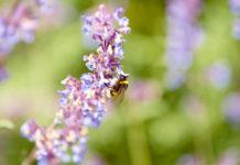 Nahrung für Bienen findet sich auf dem kleinsten Balkon durch insektenfreundliche Bepflanzung