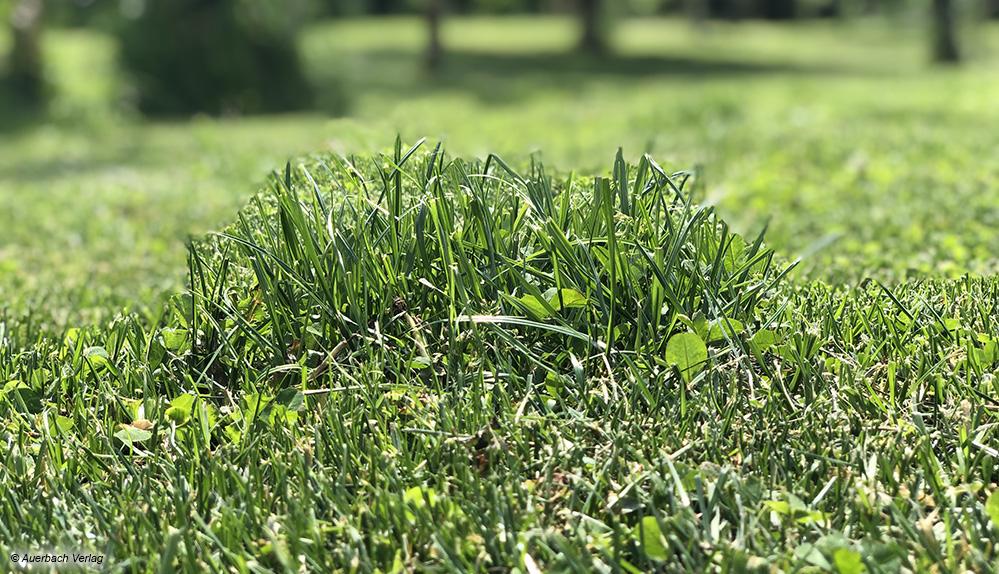 Die Mähroboter erobern den Rasen im Zufallsprinzip. Immer wieder einmal können kleine Stellen länger sein, weil sie ein paar Tage lang nicht auf der Route des Mähers lagen